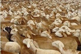 الثروة الحيوانية :الأردن طلبت استيراد 250 ألف رأس من الخراف الحية