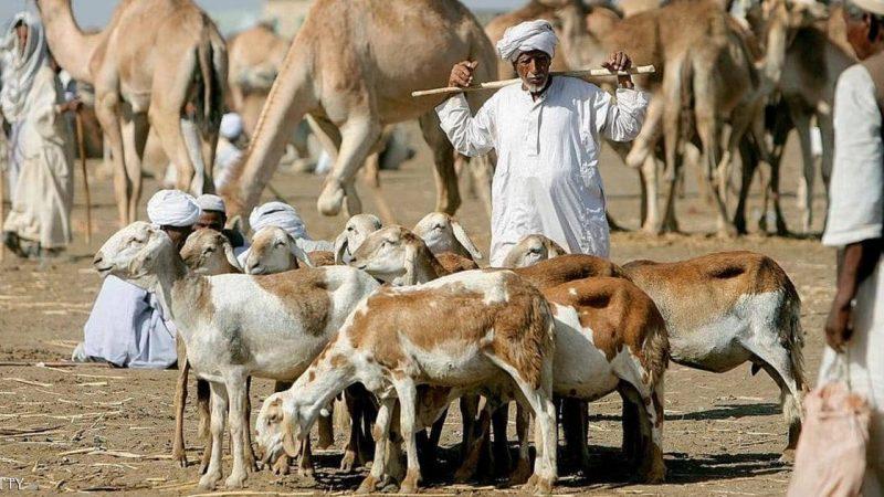 مصدرون سودانيون: قطاع  الماشية يواجه نقص اللقاحات والمناعة